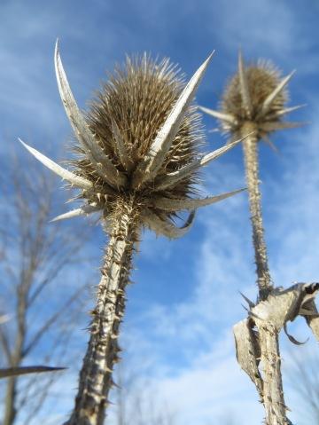 thorny thistle