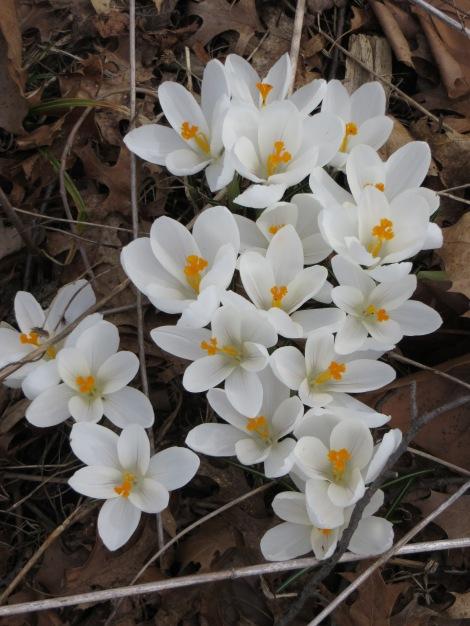 wild star lilies