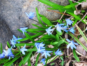 wild bluebells