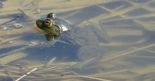 bullfrog in water