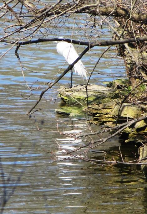 Great Egret, American Egret