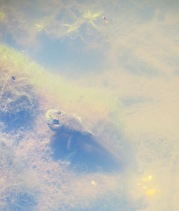 juvenile frog tadpole or Eastern Newt?
