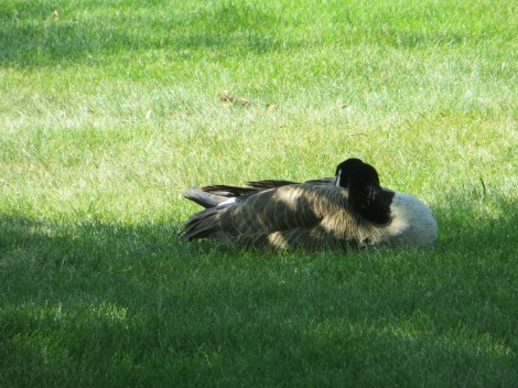 goose in the shade