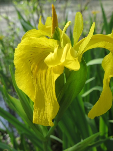 Yellow Iris Flag flower