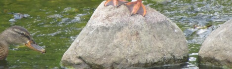 duck crossing rocks over rushing stream