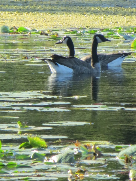 Pair of Canadian geese swim in lake with lily pads.