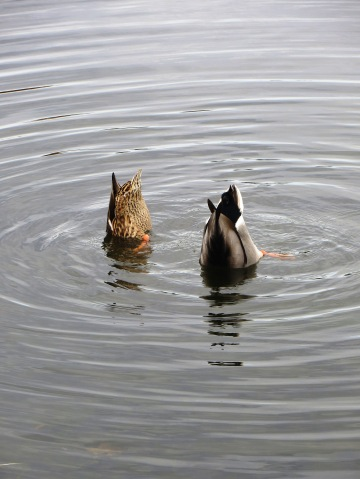 hen and drake dabbling ducks