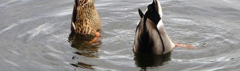 hen and drake dabbling ducks