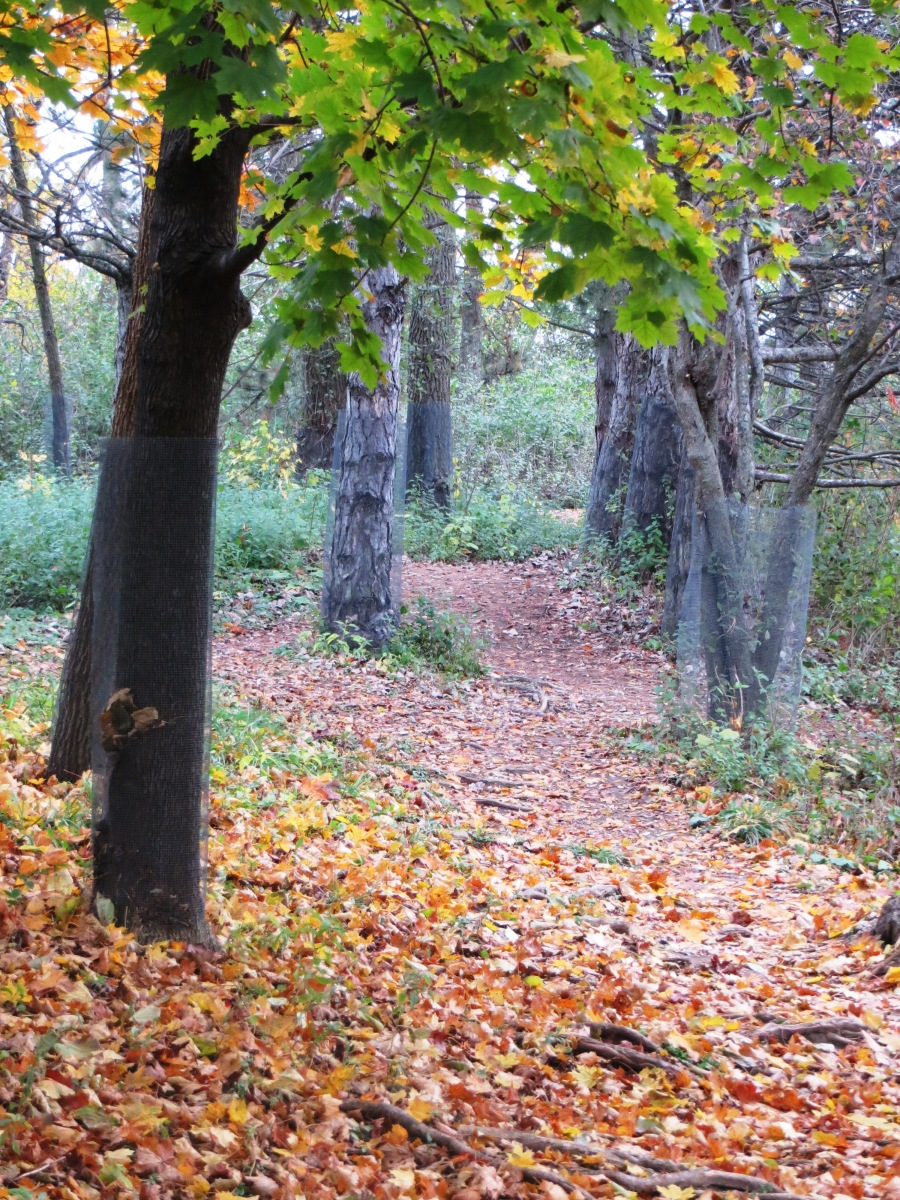 fall path scattered with leaves