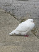 dove or tern