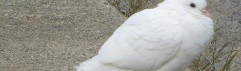dove or tern