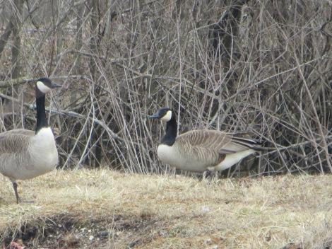 goose and gander making a nest